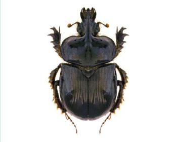 Навозник (Цератофий) многорогий (Ceratophyus polyceros (Pallas, 1771))