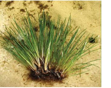 Молодильник озерний (Isoëtes lacustris L.)