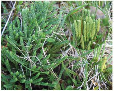 Зелениця альпійська (Дифазіаструм альпійський) (Diphasiastrum alpinum (L.) Holub (Diphasium alpinum (L.) Rothm., Lycopodium alpinum L.))