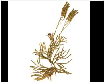 Зелениця Цайллера (дифазіаструм Цайллера) (Diphasiastrum zeilleri (Rouy) Holub (D. complanatum (L.) Holub subsp. zeilleri (Rouy) Kukkonen, Diphasium zeilleri (Rouy) Damboldt, Lycopodium zeilleri (Rouy) Greuter et Burdet))