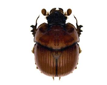 Больбелязм однорогий (Bolbelasmus unicornis (Scrank, 1789))