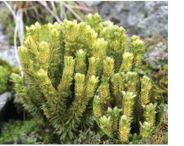 Huperzia selago (L.) Bernh. ex Schrank et Mart. (Lycopodium selago L., Mirmau selago (L.) H.P.Fuchs)