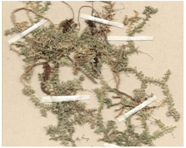 Плаунчик швейцарський (плаунок швейцарський) (Lycopodioides helveticum (L.) Kuntze (Lycopodium helveticum L., Selaginella helvetica (L.) Spring))