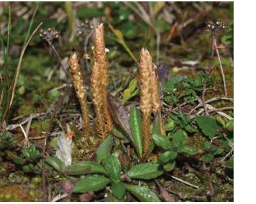Плаунок плауноподібний (Selaginella selaginoides (L.) P. Beauv. ex Mart. et Schrank (Lycopodium selaginoides L., Selaginella spinulosa A.Braun))