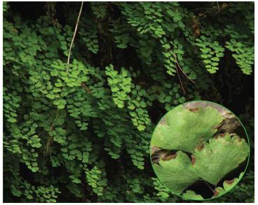 Адіант венерин волос (Adiantum capillus-veneris L.)