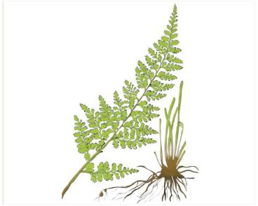 Костенец Било (Asplenium billotii F.W.Schultz. (Asplenium obovatum Viv. subsp. lanceolatum auct. non (Fiori) P.Silva))