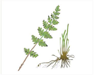 Пузырник альпийский (Cystopteris alpina (Lam.) Desv. (C. fragilis (L.) Bernh. subsp. alpina (Lam.) C.Hartm., C. fragilis (L.) Bernh. var. alpina (Lam.) Desv., C. regia auct. non (L.) Desv., Polypodium alpinum Lam.))