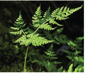 Пузырник горный (Cystopteris montana (Lam.) Bernh. ex Desv. (Aspidium montanum (Lam.) Sw., Polypodium montanum Lam., Rhizomatopteris montana (Lam.) A.P.Khokhr.))