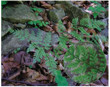 Пузырник судетский (Cystopteris sudetica A.Braun et Milde (Rhizomatopteris sudetica (A.Braun et Milde) A.P.Khokhr.))