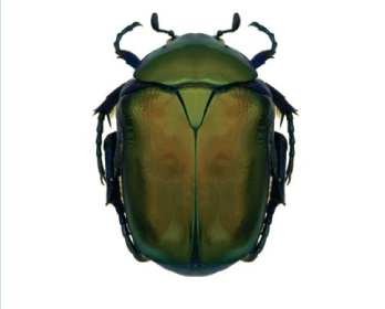 Бронзовка (Protaetia (Cetonischema) speciosa speciosa  (Adams, 1817))
