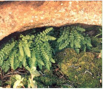 Вудсия альпийская (Woodsia alpina (Bolton) S.F.Gray (Acrostichum alpinum Bolton))