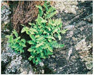 Вудсия эльбская (Woodsia ilvensis (L.) R. Br. (Acrostichum ilvense L.))