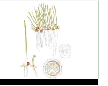 Пілюльниця куленосна (кульківник куленосний) (Pilularia globulifera L.)
