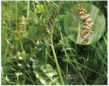 Гроздовник полулунный (Botrychium lunaria (L.) Sw.)