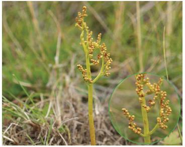 Гронянка багатороздільна (Botrychium multifidum (S.G.Gmel.) Rupr. (Botrychium matricarioides Willd.; B. matricariae (Schrank) Spreng.; Osmunda multifida S.G.Gmel.; Sceptridium multifidum (S.G.Gmel.) Tagawa))