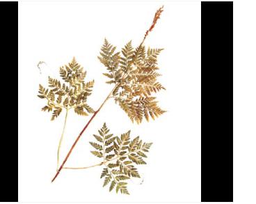 Гроздовник виргинский (Botrychium virginianum (L.) Sw. (B. anthemoides C.Presl; B. virginicum Willd.; Botrypus virginianus (L.) Holub))