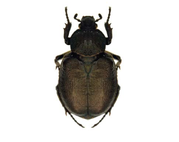 Жук-самітник (Osmoderma barnabita (Motschulsky, 1845))