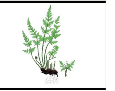 Краекучник орляковый (Cheilanthes acrosticha (Balb.) Tod. (C. pteridioides auct. non (Reichard) C.Chr., C. fragrans auct. non (L.f.) Sw., Pteris acrosticha Balb.))