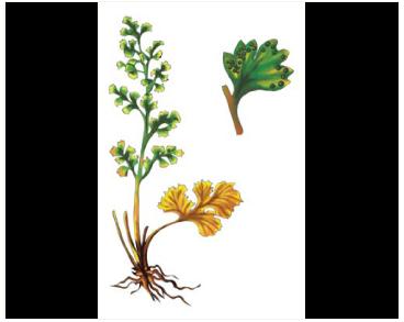 Краекучник персидский (Cheilanthes persica (Bory) Mett. ex Kuhn (Notholaena persica Bory))