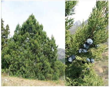 Яловець високий (Juniperus excelsa M.Bieb.)
