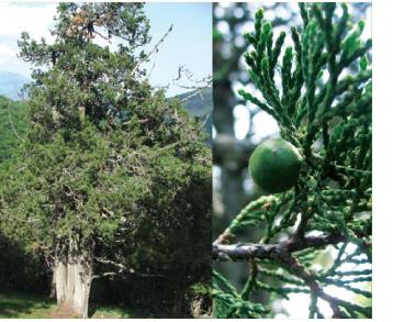 Яловець смердючий (Juniperus foetidissima Willd.)