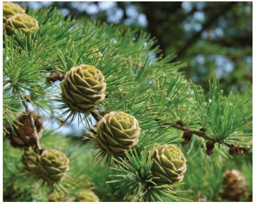 Модрина польська (Larix polonica Racib. (L. decidua Mill. subsp. polonica (Racib.) Domin))