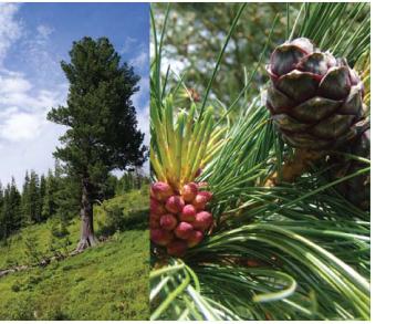Сосна кедрова (сосна кедрова європейська) (Pinus cembra L.)