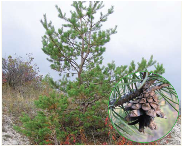 Сосна меловая (Pinus cretacea (Kalenicz.) Kondr. (Pinus sylvestris L. var. cretacea Kalenicz. ex Kom.))