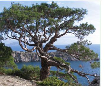 Сосна Станкевича (сосна піцундська різновидність Станкевича) (Pinus stankewiczii (Sukacz.) Fomin (P. brutia Ten. var. pityusa (Steven) Silba p.p., P. brutia subsp. stankewiczii (Sukacz.) Nahal, P. pityusa Steven var. stankewiczii Sukacz.))