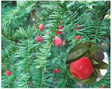 Тис ягідний (негній-дерево) (Taxus baccata L.)