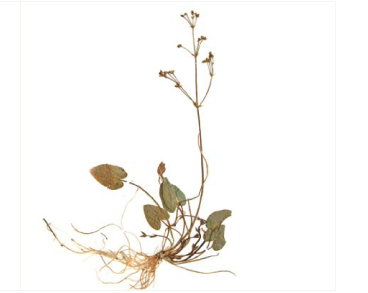 Кальдезия белозоролистная (Caldesia parnassifolia (L.) Parl. (Alisma parnassifolium L.))