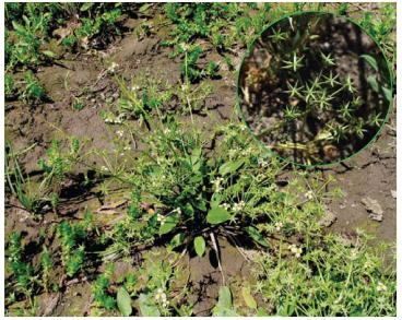 Damasonium alisma Mill. (Alisma damasonium L., A. stellatum Lam., Damasonium stellatum (Lam.) Thuill.)