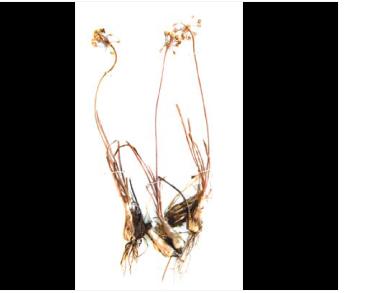Цибуля білувата (Allium albidum Fisch. ex M.Bieb. (A. angulosum L. var. caucasicum Regel; A. stellerianum Besser, nom. illeg.))