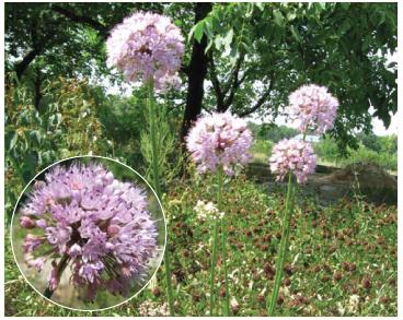 Цибуля лінійна (Allium lineare L. (A. tortuosum Willd. ex Schult. et Schult.f.; Porrum lineare (L.) Raf.))