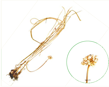 Цибуля перевдягнена (Allium pervestitum Klokov (A. rotundum auct. non L.))