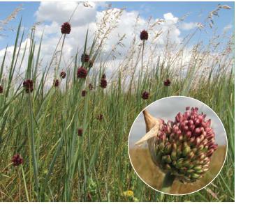 Цибуля Регеля (Allium regelianum A. Becker ex Iljin)