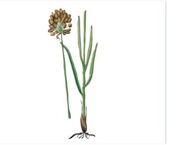 Цибуля скіфська (Allium scythicum Zoz)