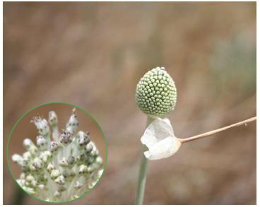 Цибуля круглонога (Allium sphaeropodum Klokov (A. paczoskianum auct. non Tuzson))