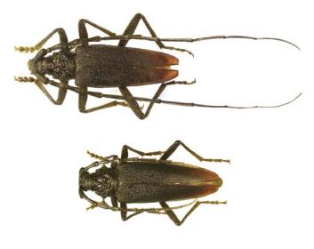 Вусач великий дубовий (Cerambyx cergo (Linnaeus, 1758))