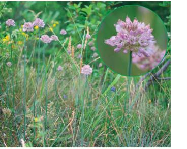 Цибуля пряма (Allium strictum Schrad. (Allium volhynicum Besser, A. lineare auct. non L.))