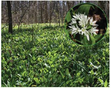 Allium ursinum L. (A. ucrainicum (Kleopow et Oxner) Bordz.; A. ursinum L. subsp. ucrainicum Kleopow et Oxner, A. ursinum var. ucrainicum (Kleopow et Oxner) Soó)