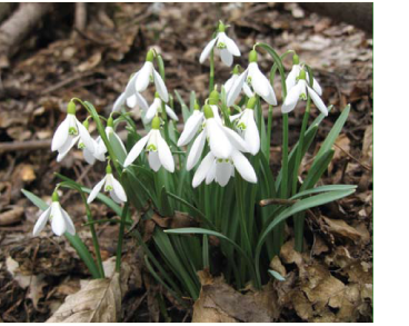 Підсніжник білосніжний (підсніжник звичайний) (Galanthus nivalis L.)