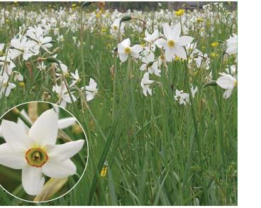 Narcissus angustifolius Curtis (N. poëticus L. subsp. angustifolius (Curtis) Asch. et Graebn., N. poëticus L. subsp. radiiflorus (Salisb.) Baker, N. poëticus L. subsp. stellaris Haw.)