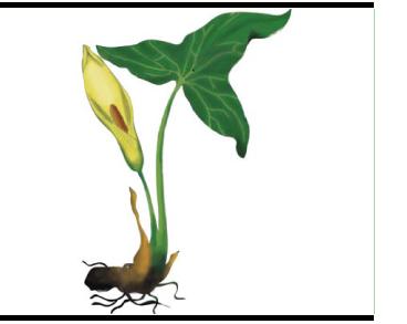 Кліщинець білокрилий (аройник білокрилий, арум білокрилий) (Arum albispathum Steven ex Ledeb. (A. italicum Mill. subsp. albispathum (Steven ex Ledeb.) Prime; A. orientale M.Bieb. subsp. albispathum (Steven ex Ledeb.) Nyman, A. orientale M.Bieb. var. albispathum (Steven ex Ledeb.) Engl.))