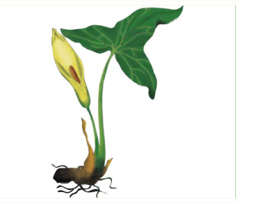 Аройник белокрылый (Arum albispathum Steven ex Ledeb. (A. italicum Mill. subsp. albispathum (Steven ex Ledeb.) Prime; A. orientale M.Bieb. subsp. albispathum (Steven ex Ledeb.) Nyman, A. orientale M.Bieb. var. albispathum (Steven ex Ledeb.) Engl.))