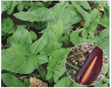 Arum orientale M.Bieb. (A. maculatum auct. non L., p.p.)