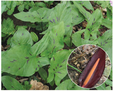 Аройник восточный (Arum orientale M.Bieb. (A. maculatum auct. non L., p.p.))