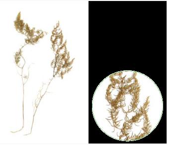 Холодок Палласа (холодок коротколистий) (Asparagus pallasii Miscz. (A. brachyphyllus auct. non Turcz.))
