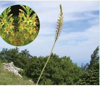 Eremurus spectabilis M.Bieb. s.l. (incl. E. thiodanthus Juz., E. jungei Juz.)