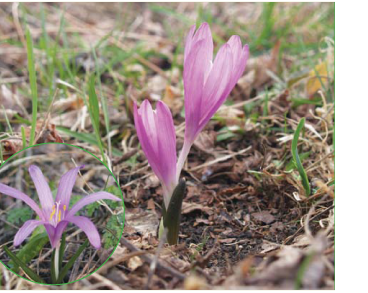 Брандушка разноцветная (Bulbocodium versicolor (Ker Gawl.) Spreng. (B. ruthenicum Bunge, B. vernum L. subsp. versicolor (Ker Gawl.) K. Richt., Colchicum versicolor Ker Gawl.))